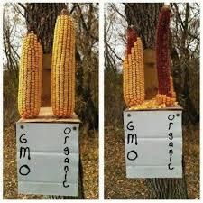 corn squirrels